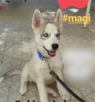 توله سگ هاسکی سفید چشم آبی اصیل