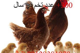 فروش جوجه مرغ لوهمن یک روزه با ضمانت اصیل
