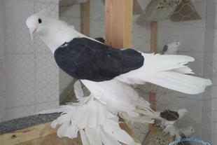 دوره آموزشی پرورش کبوتر گوشتی -زینتی