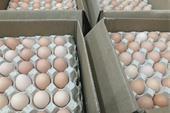 تخم نطفه دار مرغ بومی