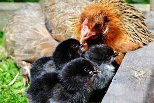 خرید فروش جوجه یکروزه مرغ بومی
