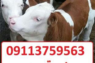 فروش گوساله سیمینتال و هلشتاین با کم ترین قیمت