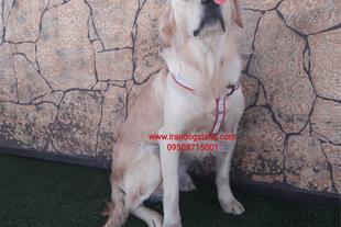 سگ گلدن رتریور نر طلائی و بسیار اصیل و زیبا