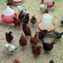 جوجه مرغ و خروس رسمی تخمگذار