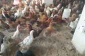 فروش مرغ 5 ماهه و 6 ماهه محلی گلپایگان اماده تخم