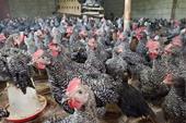 خرید و فروش مرغ رسمی محلی