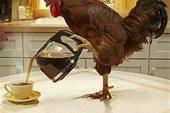 فروش مرغ رسمی محلی