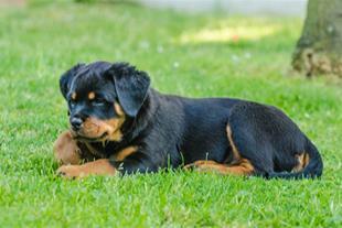 فروش توله سگ روتوایلر