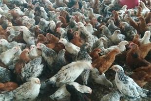 فروش جوجه مرغ اصلاح نژاد شده به قیمت روز
