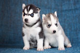فروشگاه اختصاصی سگ گارد و نگهبان با نژادهای اصیل