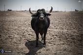 فروش گاومیش گوشتی و شیری