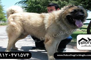 سگ قفقازی غول پیکر