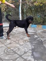 فروش سگ اصیل روتوایلر