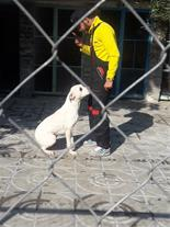 سگ دوگو آرژانتینی اصیل