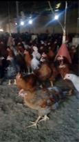 فروش نیمچه مرغ 120روزه