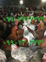 فروش ویژه مرغ در حال تخم گذاری گلپایگانی
