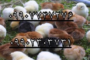 فروش ویژه جوجه یک روزه گلپایگانی و مرغ تخمگذار