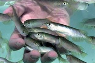 قیمت بچه ماهی، فروش بچه ماهی ،ماهیان گرمابی سردابی