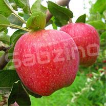 https://sabzino.com/articles/urmia-apple