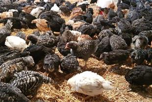 فروش مرغ 2 ماهه بلک استار با تعداد تخم300تا در سال