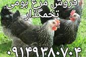 فروش جوجه یک روزه قیمت مرغ تخمگذار ، نیمچه تخمگذار
