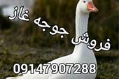 جوجه غاز ، جوجه اردک ، فروش جوجه غاز و اردک