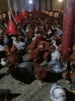 فروش مرغ محلی آماده تخم گذاری بصورت تضمینی
