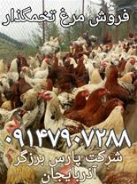 فروش مرغ بومی تخمگذار مرغ محلی جوجه یک روزه