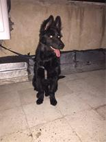 سگ ژرمن بلاک با ضمانت سلامت و اصالت