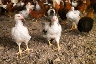فروش نیمچه مرغ بومی تخمگذار 4/5 ماهه