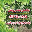نهال گردو اسراییلی در شیراز