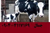 فروش گوساله ، فروش گوساله هلشتاین و سیمینتال