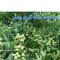 نهال شناسه دار گردو پیوندی چندلر در شیراز