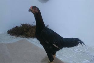 جوجه مرغ دو رگ (لاری+بومی) 3 ماهه و مرغ خروس لاری