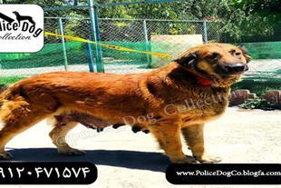 سگ سرابی اصیل مناسب دامداری و گله