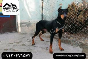 فروش ویژه سگ دوبرمن اصیل