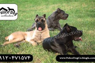 سگ کن کورسو ایتالیایی