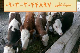 فروش انواع گوساله