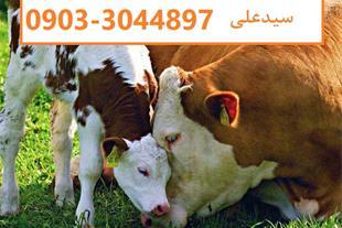 فروش ویژه گوساله سیمینتال ، فروش گوساله