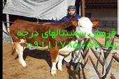 فروش انواع گوساله سمینتال ، هلشتاین