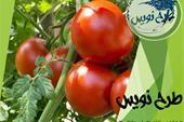 طرح توجیهی گلخانه گوجه فرنگی
