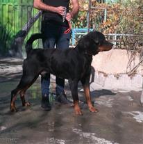 فروش سگ نگهبان روتوایلر
