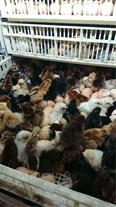 فروش مرغ محلی گلپایگان در سنین مختلف باکیفیت بالا