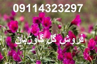فروش گل گاوزبان با بهترین قیمت